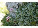 Katera rožca je to?še nekaj cvetkov triglavske rože