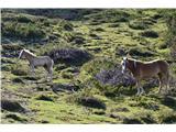 Kalška goraTu se pasejo samo konji.