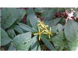 Katera rožca je to?Na gozdnih obronkih in ob gozdnih poteh cveti fuchsov  grint.