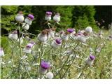 Katera rožca je to?polje volnatoglavega osata