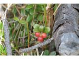 Katera rožca je to?Veliko je brusnic. Niso pa še zrele. Takrat ko je zmrzovalo zgleda,da še niso cvetele.
