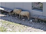 Bovški GamsovecVroče je bilo. Ovčke so iskale senco.