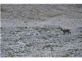 Bovški GamsovecTa dan smo res v večini primerov videli le gamse. Po poti na Gamsovec pa smo spodaj le videli par kozorogov.Bili so na tistem melišču pod Pihavcem.