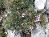 Žrd (2324m)med skalami na poti se najde še kakšen cvet triglavske rože