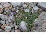 Katera rožca je to?Presenečanje na koncu poti na Umuk Žrela-alpska madronščica.
