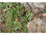 Katera rožca je to?Pa še sluzasta črna živalca. Srečal sem jih kar nekaj.