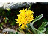 Katera rožca je to?Kranski ali sivi grint-Senecio incanus subsp. carniolicus