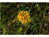 Katera rožca je to?Steljniški grint-Tephroseris tenuifolia