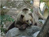 Polhograjska GrmadaRjavi medved