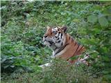 Polhograjska GrmadaSibirski tiger
