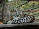 Polhograjska GrmadaPerzijski leopard