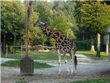 Polhograjska GrmadaŽirafa
