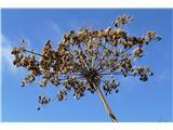 Katera rožca je to?morda semena širokolistnega jelenovca (listi so bili tudi že povsod posušeni); mogoče pa le kdo pozna ta semena