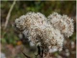 Katera rožca je to?semena konjske grive