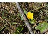 Katera rožca je to?Celo kalužnica je pocvetala .