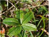 Katera rožca je to?list zlatega petoprstnika (srednji listni rogelj je krajši od sosednjih dveh)