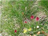 Katera rožca je to?Dvobarvne murke-sigurno-slikane v Julijcih.