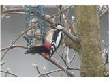 Hranjenje pticveliki detel, samec