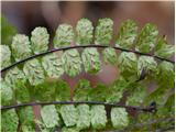 Katera rožca je to?rjavi sršaj - spodnja stran listov s trosi