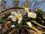Čudovita naravana bovškem so pa bele le rožce:)