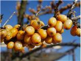 Katera rožca je to?plodovi navadnega rakitovca, ki so ostali na bodečih vejah čez zimo