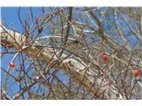 Vremščicašipkovi plodovi krasijo veje