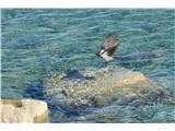 Slovenska obalapolet sive vrane