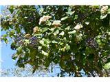 Katera rožca je to?zimzelena brogovita s plodovi