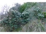 Katera rožca je to?grmovja zimzelene brogovite ob obali