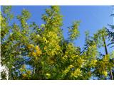Katera rožca je to?srebrna akacija (Acacia dealbata), pravijo ji tudi mimoza