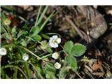Katera rožca je to?Drobnocvetni petoprstnik-Potentilla micrantha-od belih petoprstnikov ima najmanjše cvetove.