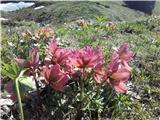 Tirske pečiZadnja planina cveti