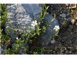 Katera rožca je to?Tukaj je lepo vidna sama rast te smiljke.