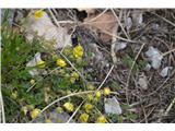 Katera rožca je to?Sedmerolistni petoprstnik-zjutraj cvetov še ni odprl.