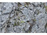 Katera rožca je to?Avrikelj najdemo na območju Kriške gore in Tolstega vrha na več rastiščih.
