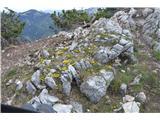 Katera rožca je to?Na sredini grebena, ki poteka od Kriške gore proti Tolstemu vrhu je vse rumeno vednozelene gladnice.
