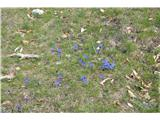 Katera rožca je to?Pred kočo na Kriški gori in na začetku poti proti Tolstemu vrhu je vse modro spomladanskega svišča.