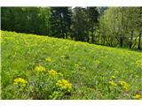 Katera rožca je to?obsežni travniki, rumeno obarvani s cipresastim mlečkom