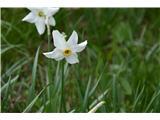 Katera rožca je to?Narcise tudi cvetijo.