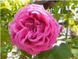 Katera rožca je to?