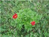 Katera rožca je to?Kosovski božur