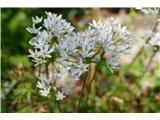 Katera rožca je to?dilema ali neapeljski luk ali pa Allium subhirsutum