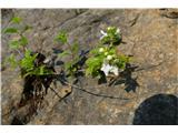 Katera rožca je to?skalni čistec Prasium majus