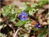 Katera rožca je to?modra kurja češnjica