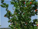Katera rožca je to?granatno jabolko