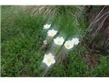 Katera rožca je to?bela in zelo lepa.