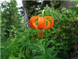 Polhograjska Gora (Sveti Lovrenc)Kranjska lilija
