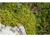 Katera rožca je to?Homulična črvinka -Minuartia sedoides.Ponavadi tr zelene blazinice kar prezremo. Cvete tudi že avstrijska črvinka.