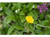 Katera rožca je to?Popon ali sončece.Ta je bil pri koči .