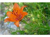 Katera rožca je to?brstična lilija - niso prav pogoste v Julijcih
